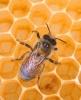 A méhpempő szinte mindenre jó